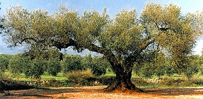 Jahrhunderte alter Olivenbaum in Vassiliki